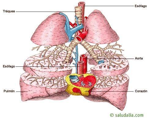Aparato Respiratorio. Saludalia.com